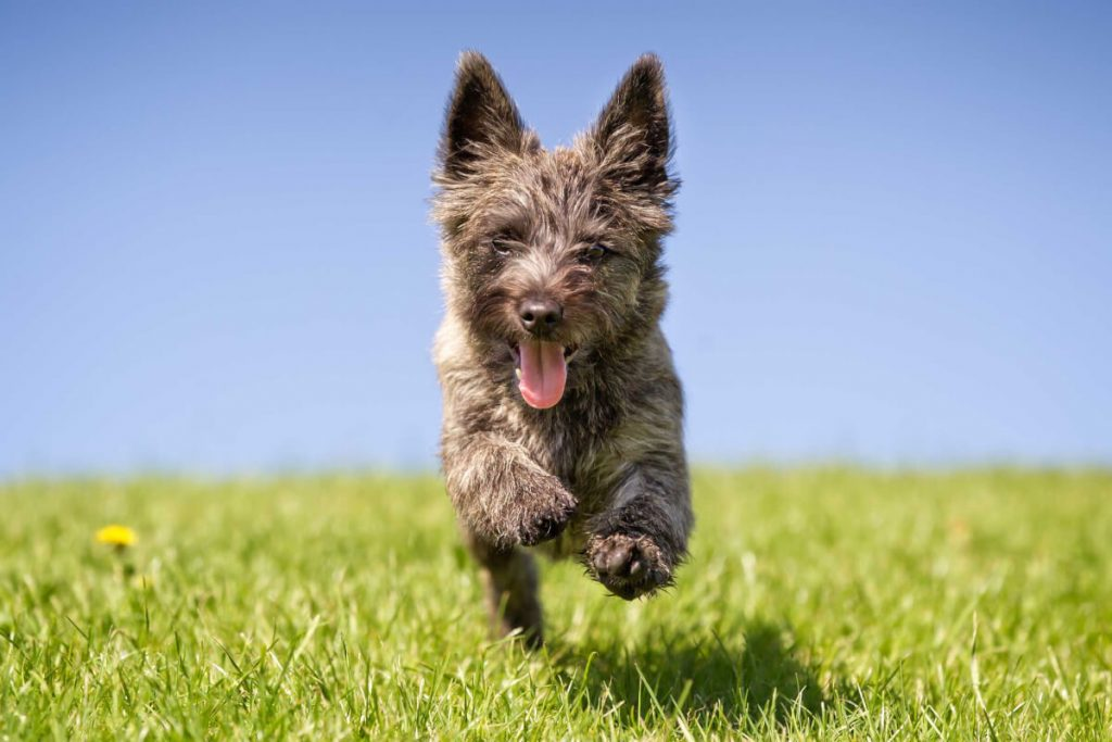 Everything You Need to Know about the Cairn Terrier
